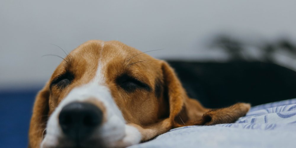 Il dolore nei nostri animali da compagnia